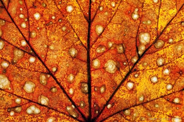 philo-fond-automne-feuille-ii.jpg